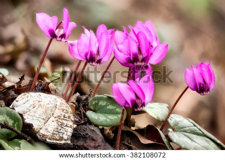 Group of pink Cyclamen coum flowers shot using focus stacking with a white snail shell on the foreground, Black Sea coast of Caucasus, Russia - stock photo