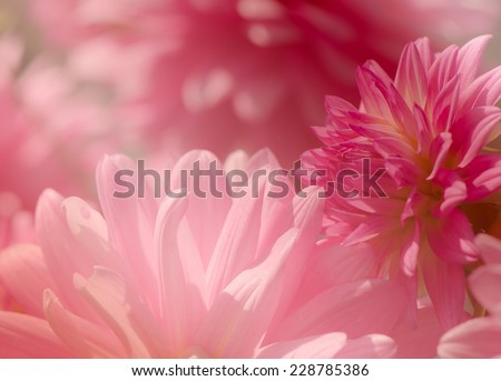 Group of pink Dahlia flower, close up, soft background - stock photo