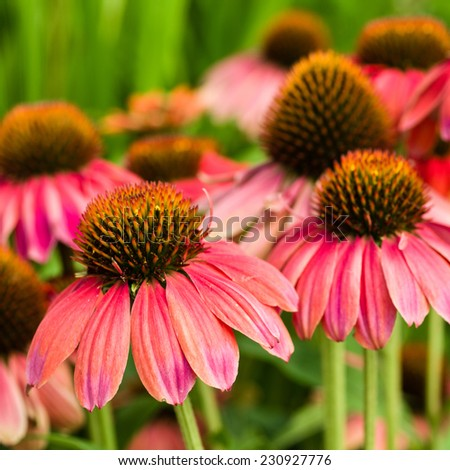 Group of pink Echinacea flowers in bloom - stock photo