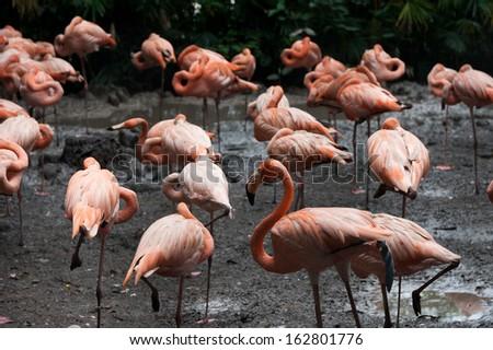 Group of Pink flamingos in Bangkok zoo - stock photo