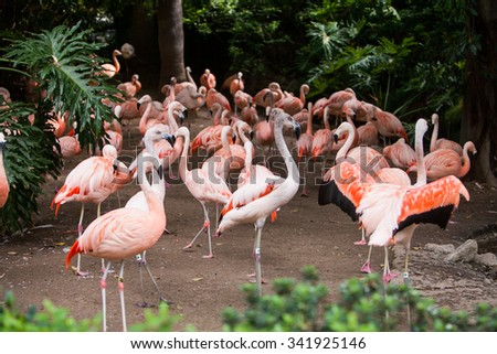 Group of pink flamingos in its natural environment. The largest colony of the pink flamingo