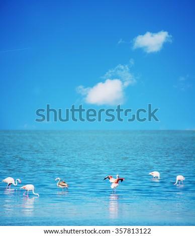 group of pink flamingos in Sardinia, Italy. - stock photo