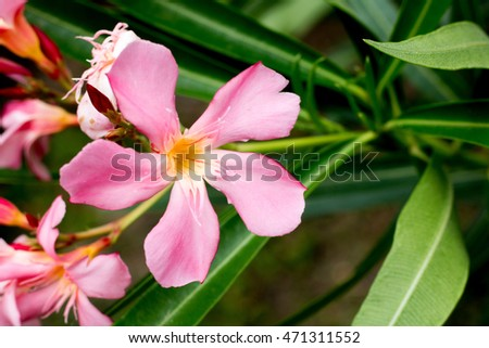 group of pink Oleander from park