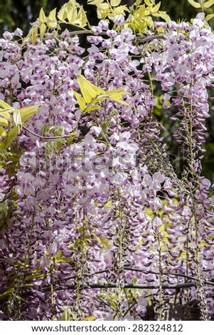Group of pink wisteria pendant in a pergola of a garden, natural light, view from below,  - stock photo