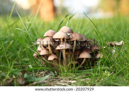 Group of poisonous mushrooms in a green grass