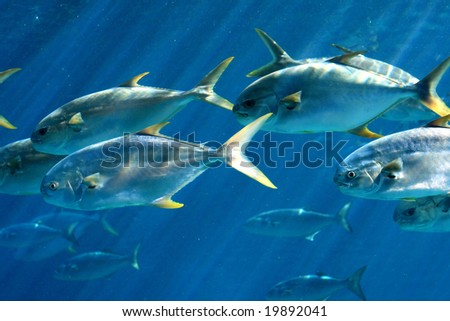 group of pompano fish