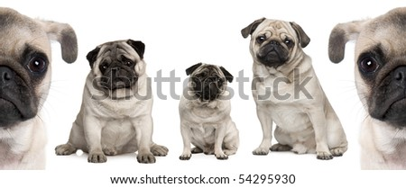 Group of Pug dogs in front of white background