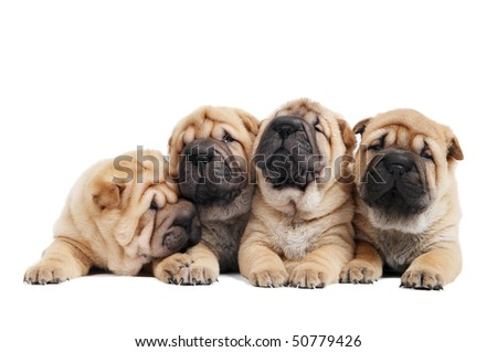 group of purebred beige sharpei puppy dogs isolated - stock photo