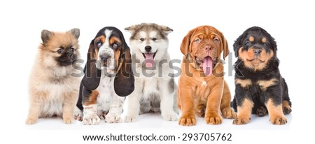group of purebred puppies. isolated on white background - stock photo