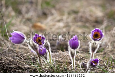 Group of purple pasque flowers on meadow