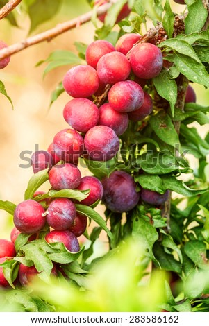 Group of purple plums get ripe on it's tree branch with morning sunlight. (Prunus japonica) - stock photo