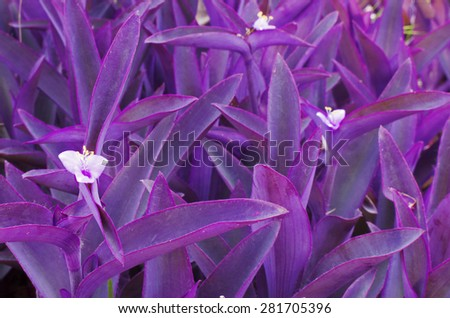 Group of purple trees have big leaves and white small flowers bloom for background - stock photo