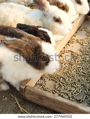 Group of rabbits eating food in the farm - stock photo