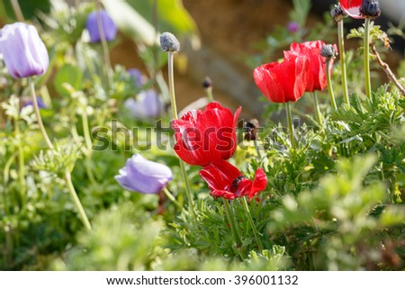 Group of red and violet anemones in a field - stock photo