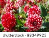 Group of red and white dahlias in the garden. - stock photo