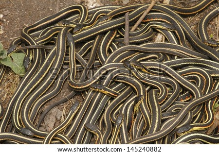 Group of red sided garter snake Thamnophis sirtalis parietalis mating in Narcisse, Manitoba, Canada. - stock photo