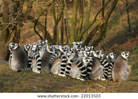 Group of ring-tailed lemurs - stock photo