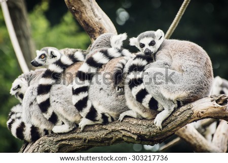 Group of Ring-tailed lemurs (Lemur catta) resting on the tree branch. Animal theme. - stock photo