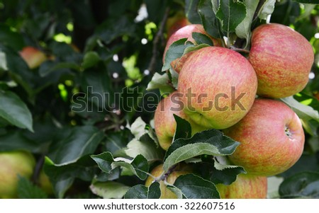 Group of ripe apples ready for harvest on the tree branch in an orchard - stock photo