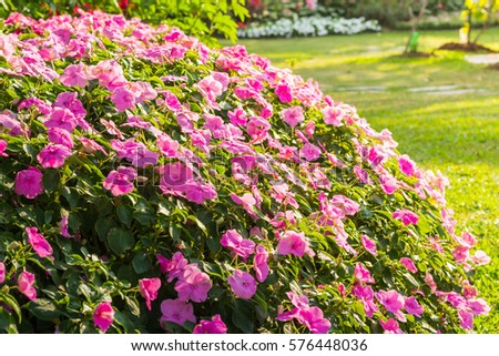 Group of Rose periwinkle flowers in a garden.