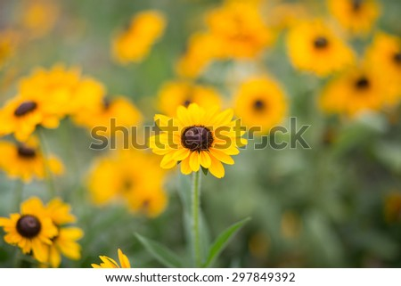 group of Rudbeckia hirta flowers. The bees fly aound and do their job. Lovely summer day - stock photo