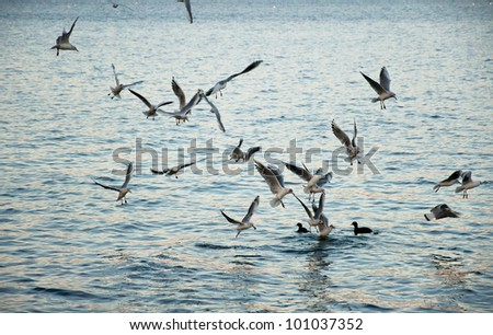 "Group of seagulls in a ""V"" formation eating."