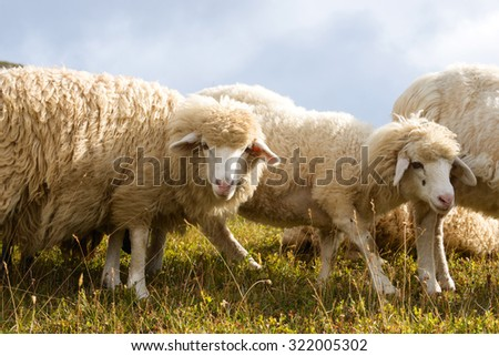 group of sheep in the Alpine mountains - stock photo