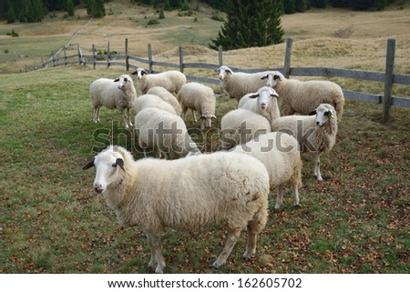 Group of Sheep on a Pasture in Mountain - stock photo