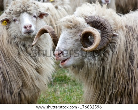 Group of sheep outdoors with natural background