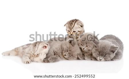 group of sleepy british shorthair kittens. isolated on white background - stock photo