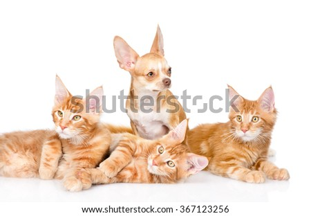 Group of small ginger maine coon cats with tiny chihuahua puppy. isolated on white background
