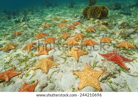 Group of starfish, Cushion sea star Oreaster reticulatus, underwater on sea bottom, Caribbean - stock photo
