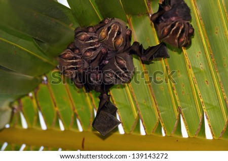 Group of Tent-Making Bats under a palm leaf, Costa Rica - stock photo