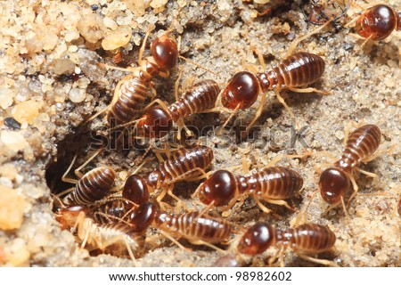 group of termite soil soldier - stock photo