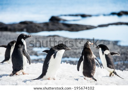 Group of the Adelie penguins (Pygoscelis adeliae) on the Antarctic coast - stock photo