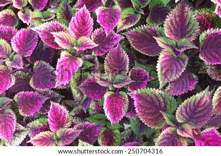 group of the shoot Painted nettle plant as background - stock photo