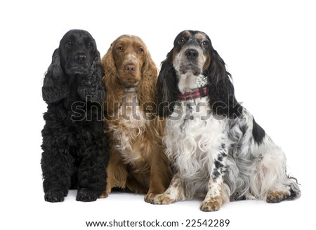 group of three Cocker Spaniels in front of a white background - stock photo