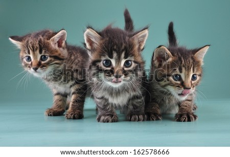 Group of three little kittens together . Studio shot. - stock photo