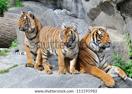 Group of Tigers, Family