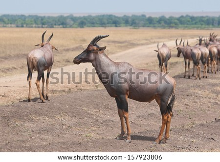 group of topis in the savannah in africa - national park masai mara in kenya - stock photo