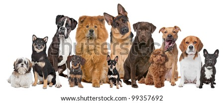 Group of twelve dogs sitting in front of a white background - stock photo