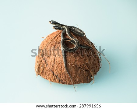 Group of two newborn little snakes with dangling skin rags sitting on top of coconut shell - stock photo