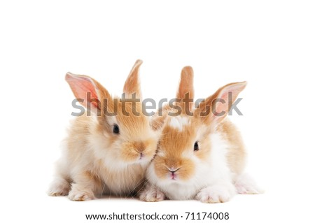 group of twobaby light brown rabbits with long ears isolated on white - stock photo