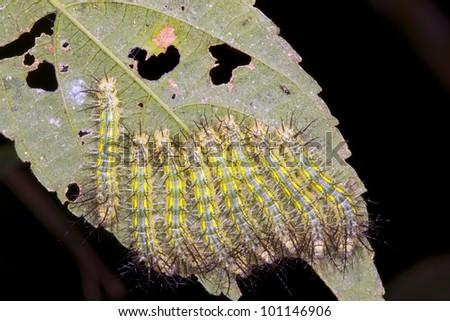 Group of venomous Saturniid moth caterpillars on a leaf in rainforest, Ecuador - stock photo