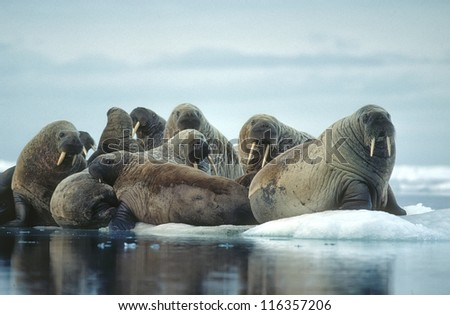 Group of walrus on ice floe in Canadian High Arctic - stock photo