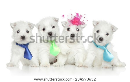Group of West Highland White Terrier puppies on white background - stock photo