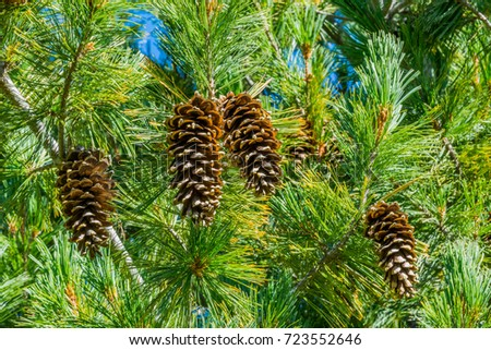 Group of Western White Pine Cones