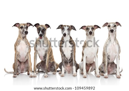 Group of whippets posing on a white background - stock photo