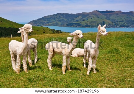 Group of white alpacas are on backgrounds of fiord, South Island, New Zealand. - stock photo