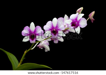 group of white and purple orchid on black background - stock photo